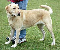 250px-YellowLabradorLooking.jpg